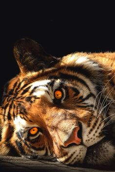 A Resting Tiger; its Eyes Look as Though They're on Fire. Beautiful Cats, Animals Beautiful, Big Cats, Cats And Kittens, Kitty Cats, Animals And Pets, Cute Animals, Wild Animals, Gato Grande