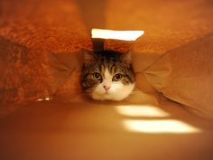 Maru gets his head stuck in a small opening at the bottom of a paper bag.