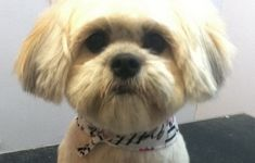 """My Shih Tzu puppy needs a haircut. Shall I ask for the """"puppy cut"""" or """"teddy bear cut""""? Last time we got the general puppy cut. Shih Tzu Maltese Mix, Shih Tzu Hund, Shih Tzu Puppy, Shih Tzus, Maltese Dogs, Good Shampoo And Conditioner, Dog Haircuts, Puppy Cut, Lion Dog"""