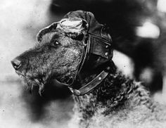 A close-up of Mike, the world's only canine aviator, wearing flying cap and goggles in Chicago, c. 1920 (Photo by Topical Press Agency/Getty Images)