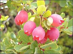Ohelo berry - A relative of blueberries and cranberries, the 'ohelo (Vaccinium reticulatum) is one of the few native Hawaiian plants producing palatable fruit. The berries have been reincarnated into 'ono jams, jellies and pies, and the fruit is the primary favored food for our state bird, the nene.