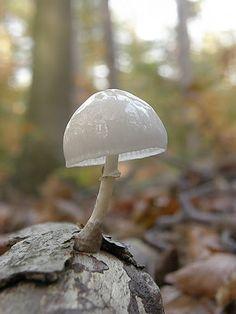 Porcelain fungus-Oudemansiella mucida. Grez-Doiceau, Wallonie (Communauté française), Belgium. Spotted on Oct 30, 2011.