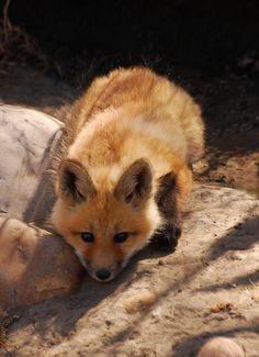 Red Fox Cub by BugMan50 - Brad Smith