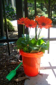 I couldn't resist these bright orange gerbera daisies. Put them in a bright orange sand bucket and use it for your beach party decorations. The daisy was planted afterwards and we enjoyed the blossoms until the late fall.