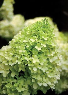 Limelight Hardy Hydrangea - An exciting hardy Hydrangea from Holland, Limelight has unique chartreuse blooms in mid-summer that change to pink in fall. Good massed, as a hedge, in containers or as a cut flower.