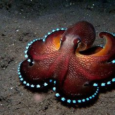A new study has led researchers to conclude that #Octopuses (NOT Octopi) have #AlienDNA. Their genome shows a never-before-seen level of complexity with a staggering 33,000 protein-coding genes identified, more than in a human being.  http://lnk.al/4q7s  #AngeMaya, #AngeMayaCom, #AngeMayaWorld, #AgelessMovie, #Ageless, #SuperSoul, #GoddessHerb, #AlternativeHealing, #ConsciousnessEvolution, #CosmosOneness, #HolisticWellnessHealth, #SpiritualScience, #BodyMindSpirit, #CancerCure…