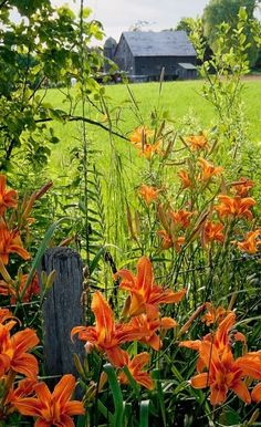 Wild day lilies that always remind me of country roads and childhood. I grow them now in my country place.