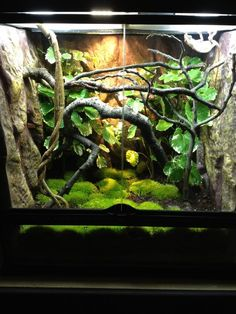 Exo Terra setup - Chameleon Forums [any arboreal critter with grippy hands that likes to walk - chameleons and leaf frogs come to mind - will appreciate these branches]