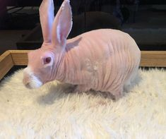 Mr. Bigglesworth, The Hairless Bunny, Was Rescued From Euthanasia, Now Lives As An Instagram Star Hairless Animals, House Rabbit Society, Ugly Animals, Rabbit Toys, Little Critter, Cute Creatures, Bored Panda, Livestock, Funny Cats