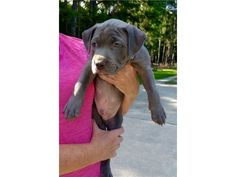 listing Excellent Bloodlines American Pitbull 91... is published on Free Classifieds USA online Ads - http://free-classifieds-usa.com/for-sale/animals/excellent-bloodlines-american-pitbull-9123350747_i33527