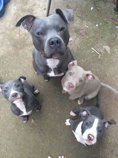 All we need is a Pitbull!