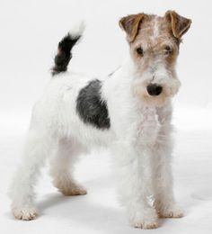 "Fox terrier - It's very much like our WFT terrier as a puppy. Also, have you noted that a WFT is an anagram for both ""WTF"" AND ""FTW"". - #cane Alone '$ #Gennaro pet."
