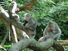 Monkey Forest - monkeys