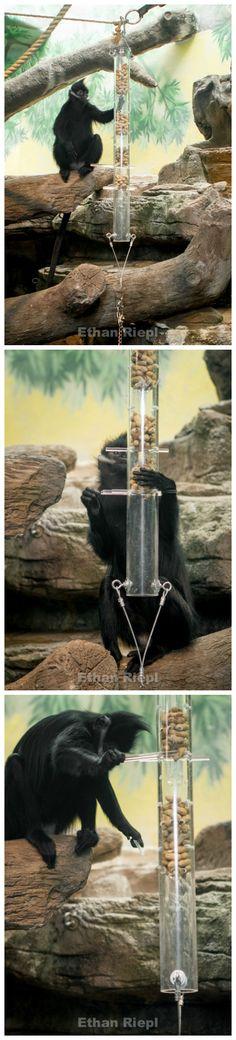 Kerplunk Feeder for Francois Langur at Saint Louis Zoo.