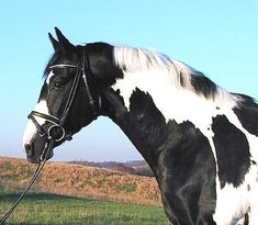 Sempatico, son of Art Deco, is a Oldenburg homozygous Pinto.