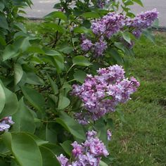 1000 Images About Lilac Bush Information On Pinterest