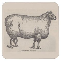 19th century print Cotswold sheep Square Paper Coaster - antique wedding gifts  special custom party