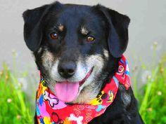 Meet BUCK a Petfinder adoptable Border Collie Dog | Louisville, KY | Buck, A358233, Border Collie blend, 6 years, MaleBuck is a six-year-old Border Collie blend. He is...