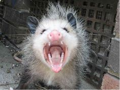possum pictures | ... and in Brandon, South Dakota, possums are keeping local police busy