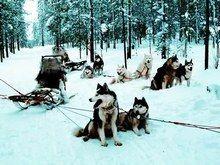 Les chiens de traîneaux  - Les sports de neige  - Vous êtes à la tête d'un attelage (2, 4, 6 chiens qui remorquent un traîneau, constitué de patins) sur lequel vous vous tenez debout. Le but consiste à maîtriser votre conduite pour effectuer une belle balade sur la neige...