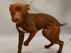 PULLED BY MR. BONES & CO. - 12/19/15 - TO BE DESTROYED - `12/19/15 - HERSHEY - #A1060060 - Urgent Manhattan - MALE BROWN/WHITE AM PIT BULL TER MIX, 3 Yrs - STRAY - NO HOLD Intake 12/09/15 Due Out 12/12/15