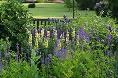 The Blue & Yellow Border in June  Coton Manor Garden  Northamptonshire  England