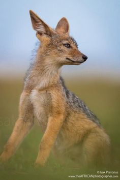 Black-Backed Jackal by Isak Pretorius Wildlife Photography #Provestra #Skinception #coupon code nicesup123 gets 25% off