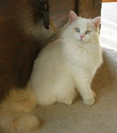 A Cream Lynx Ragdoll Cat - How can you NOT love this animal?