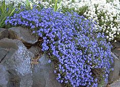 Lithodora 'Grace Ward' for north side