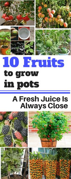 10 Fruits To Grow In Pots So That A Fresh Juice Is Always Close #garden#gardening#growyourmint.com