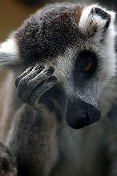 """Not impressed."" by moonlightborn~ Lemur Лемур загрустил. Primates, Mammals, Animals And Pets, Funny Animals, Cute Animals, Animal Memes, Beautiful Creatures, Animals Beautiful, Tier Fotos"