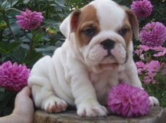 english bulldog puppies with flowers | Zoe Fans Blog