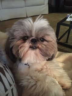 Everything About Playfull Shih Tzu Puppy Health Shih Tzus, Shih Tzu Puppy, Cute Puppies, Dogs And Puppies, Animals Beautiful, Cute Animals, Farm Animals, Lhasa Apso, All Nature