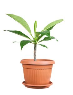 Indoor Plumeria Care – How To Grow Plumeria Plants Indoors You want to grow plumeria at home but feel geographically disadvantaged because you don't live in the right planting zone (zone 9-11). But can you grow plumeria inside? What is required for indoor plumeria care? Click this article on to learn more.