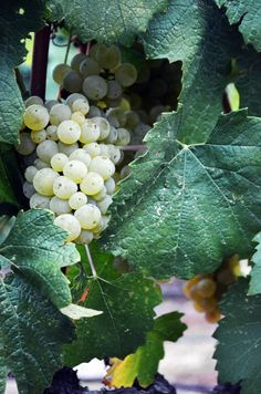 Chardonnay Grapes, La Crema Winery, Waiting On Martha