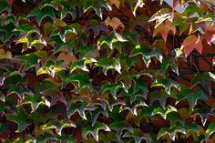 9 Different Types of Ivy (Pictures + Facts) | Trees.com Types Of Ivy, English Ivy Plant, Boston Ivy, Evergreen Vines, Ivy Plants, Best Indoor Plants, Green Flowers, House Plants, Plant Leaves