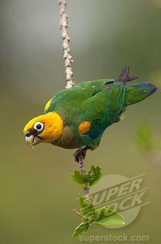 Saffron-headed Parrot (Pionopsitta pyrilia), Colombia