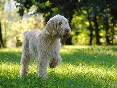 Read indepth Italian Spinone Dog breed facts including popularity rankings, average prices, highlights and buying advice from Top Dog Breeds, Large Dog Breeds, Big Dogs, Large Dogs, Italian Dogs, Italian Spinone, Wirehaired Vizsla, Family Dogs, Working Dogs