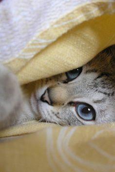 Gorgeous blue eyes www.showmecats.com #showmecats #thebeauty