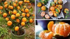 Vous n'achèterez plus JAMAIS de Mandarines de votre vie ! Plantez-les vous même dans un pot et vous en aurez des centaines …