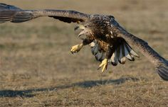 """Fighting Stance - This young lady (juvenile White-tailed Eagle) didn't have the best things of life in mind at that time :-). Shot taken near Kutno in mid Poland.  A big thanks to Marcin Nawrocki <a href=""""http://www.polandwildlife.com"""">Poland Wildlife</a> and his cousin Alexander for the great time I've had.  ©<a href=""""http://www.hewaph.com"""">Harry Eggens</a>  Wishing all of you a wonderful evening,  Harry"""