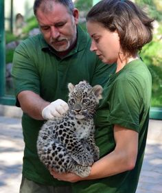 Persian Leopard cub  http://www.zooborns.com/zooborns/2013/08/little-leopard-emerges-from-the-den-at-budapest-zoo.html