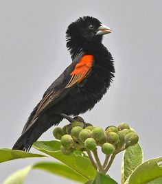 Funny Wildlife, Fan-tailed Widowbird (Euplectes axillaris) by...also known as…
