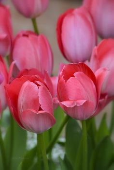 Pink spring tulips #pink #tulips