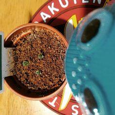 サボテン日記 ( _ゝ)小さいなぁ #cactus #cactuslove #succulent #succulove #saboten #ludwig #onokun  #さぼてん #サボテン #多肉植物 #おのくん #栄冠丸 by niwakafan