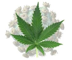 marijuana is illegal because it prevents the spread of hiv