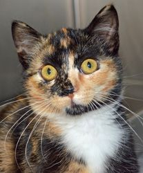 Rita is an adoptable, female, spayed, Domestic Short Hair, calico Cat in Wyoming, MN. Age:10 weeks at date of arrival (7/20/2013). How I Arrived At NHS: I was found as a stray and brought to Northwoods to find a forever home. Note From An NHS Volunteer: Rita is a curious, playful girl who would make a wonderful companion.