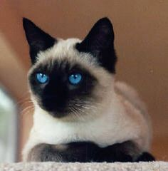 Siamese cat Can we get one PLEASE????
