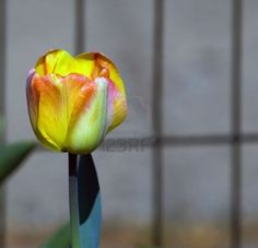 i have never had a favourite until i met the tulip