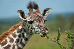 Met zijn lenige tong weet de giraf doorns te ontwijken.